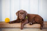 labrador retriever puppy portrait - 64465797