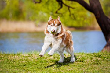 siberian husky dog playing outdoors