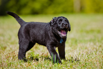happy black puppy outdoors