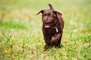 happy labrador retriever puppy