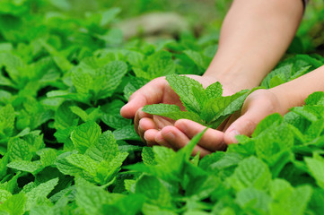 hand protect mint plants in vegetable garden