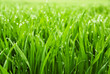 Leinwanddruck Bild - Hohes nasses Gras in Nahaufnahme