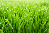 Fototapety Hohes nasses Gras in Nahaufnahme