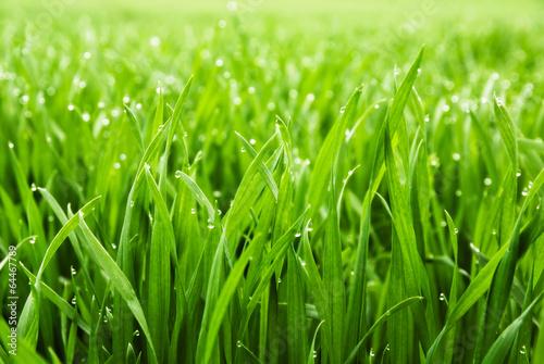 Leinwanddruck Bild Hohes nasses Gras in Nahaufnahme