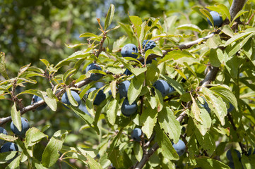 Leaves and fruits of Blackthorn, Prunus spinosa