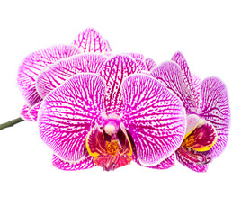 Blooming beautiful stripped lilac orchid flower, phalaenopsis is