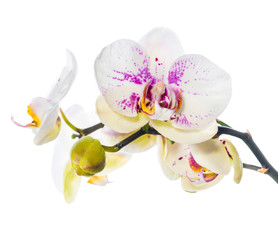 Blooming beautiful motley lilac orchid flower, phalaenopsis is i