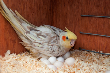 Cockatiel with eggs in nest box