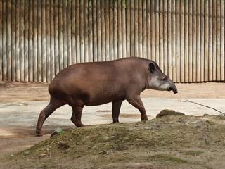 Tapiro di lato