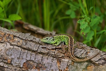 Sand lizard (Lacerta agilis), male in mating colors