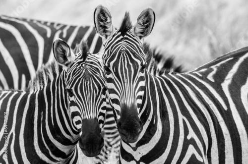 Deurstickers Zebra Zebre innamorate