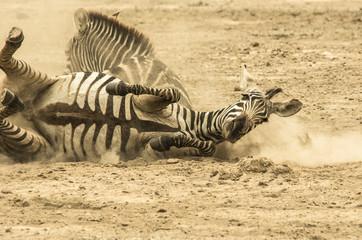 Zebre nella polvere