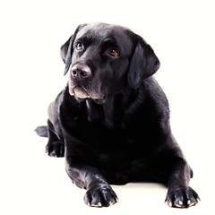Labrador sitting on an isolated background