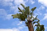 Bananier sur fond de ciel bleu (Musa) poster