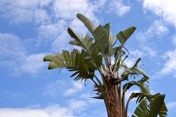 Bananier sur fond de ciel bleu (Musa)