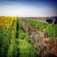 rapeseed flowers field