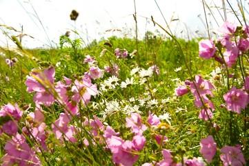 Sommerwiese - Margeriten und Malve