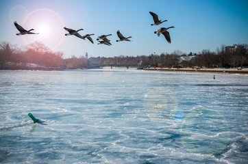 Canadian Geese Over Frozen River