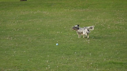 English Setter dog is running and playing with a ball on meadow