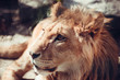Portrait lion in nature