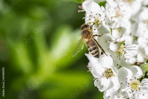 canvas print picture Makro Biene Auf Weißdorn Hintergrund