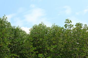 Mangroves with blue sky