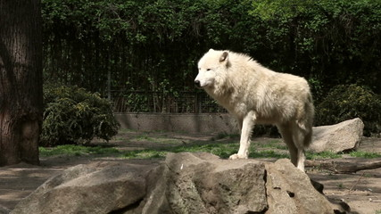 white wolf stands on the rock and looking around