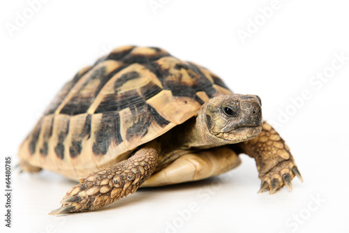 Foto op Canvas Schildpad turtle in front of white background