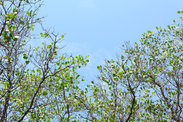 Mangroves with blue sky