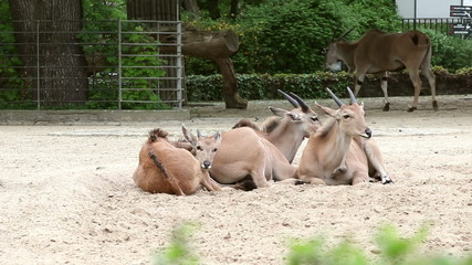 three antelopes in the zoo