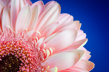 pink gerbera with blue background