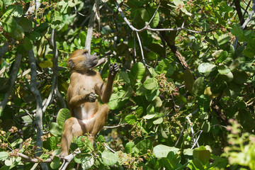 Western Baboon (Papio papio) looking for the next cashew apple t