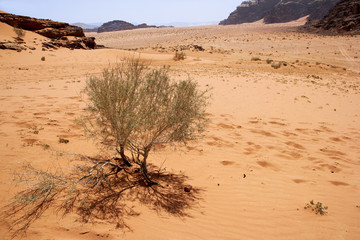Bush growing a red sand desert