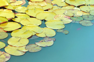 Waterlily abstract