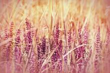 fleur pourpre sauvage dans l'herbe (printemps)