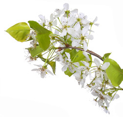 White Spring Blossoms of Cherry isolated on white