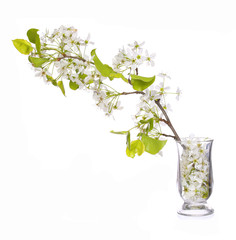 Branch with White Spring Blossoms in Glass Vase isolated