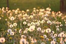 pusteblumen im sonnenlicht I