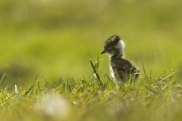Lapwing chick exploring farmland
