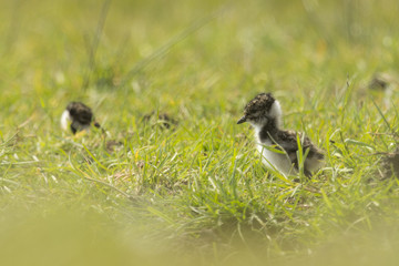 Lapwing chick exploring farmland