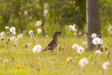 Meadow pipit in a field with common dandelions caught a caterpil