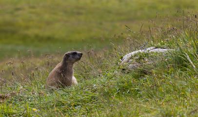 Marmotte dans un alpage