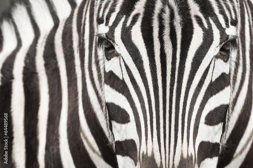 zebra-na-afrykanskiej-sawannie