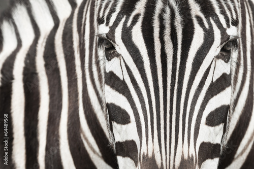 Fototapeta Close-up of zebra head and body with beautiful striped pattern