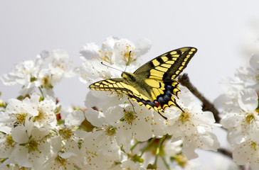 Yellow butterfly collecting pollen in cherry blossoms