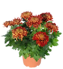 potée de chrysanthème