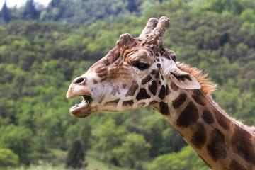 Giraffe- Giraffa camelopardalis