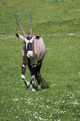 Gemsbok (Oryx)- Oryx gazella