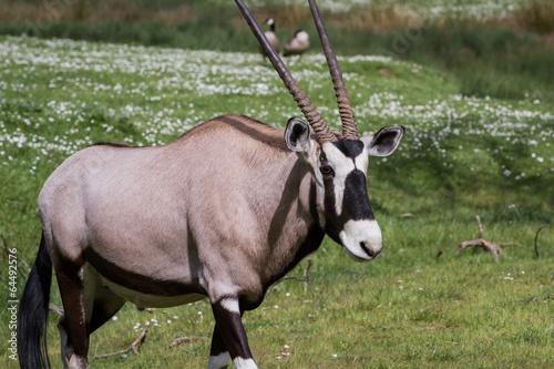 Staande foto Antilope Gemsbok (Oryx)- Oryx gazella