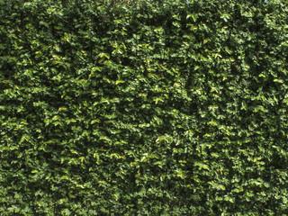 Textura de ficus, enamorada del muro, trepadora.